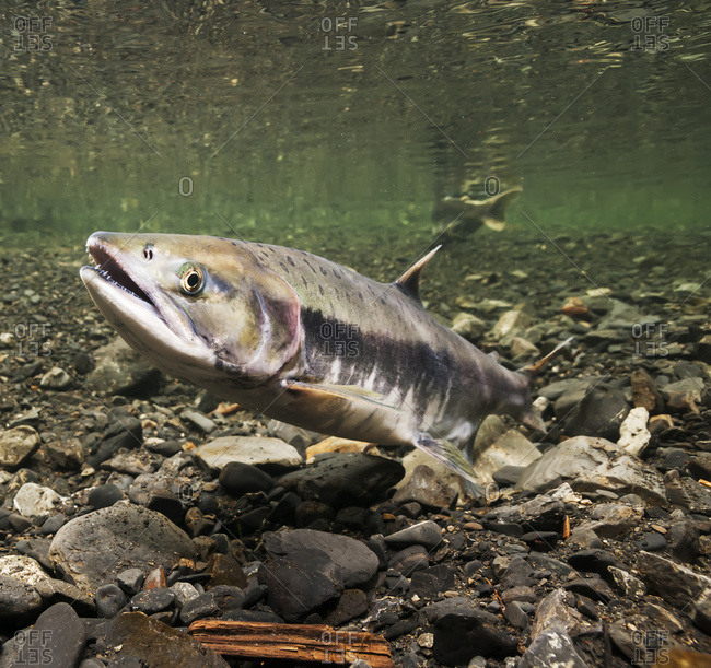 Underwater view of a female pink salmon (Oncorhynchus gorbuscha) probing with her anal fin in Hartney Creek near Cordova, Alaska in the summer, Alaska, United States of America
