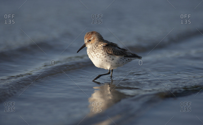 Western sandpiper (Calidris mauri) at low tide near Cordova and Prince William Sound, Alaska during their spring migration, Alaska, United States of America
