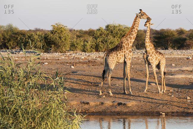A Namibian giraffe family (Giraffa giraffa angolensis), mother and baby, resting near a watering place, Etosha National Park, Namibia