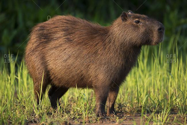Capybara (Hydrochoerus hydrochaeris) standing in grass on river bank, Mato Grosso do Sul, Brazil