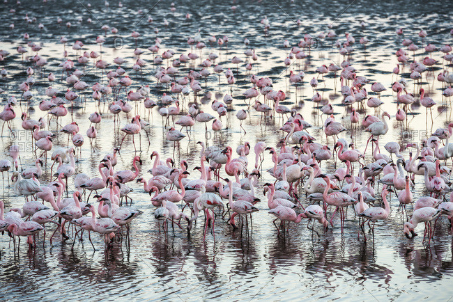 A huge colony of pink and white flamingos feeding during sunset at Walvis Bay on the Namibian coast, Namibia