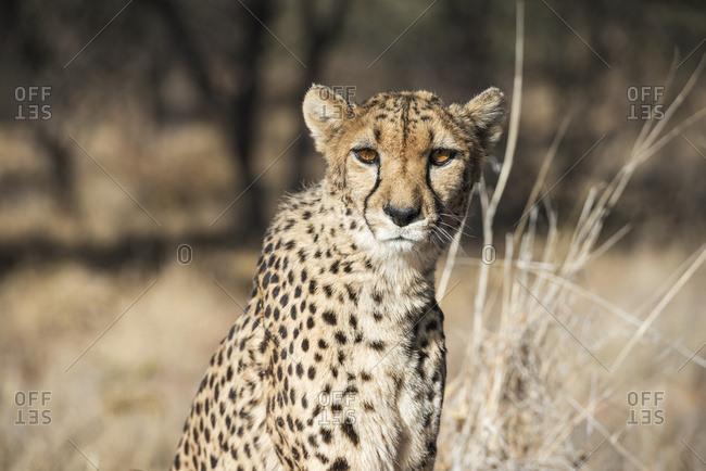 Close up of a cheetah (Acinonyx jubatus) in savanna woodlands of a cheetah farm, Namibia