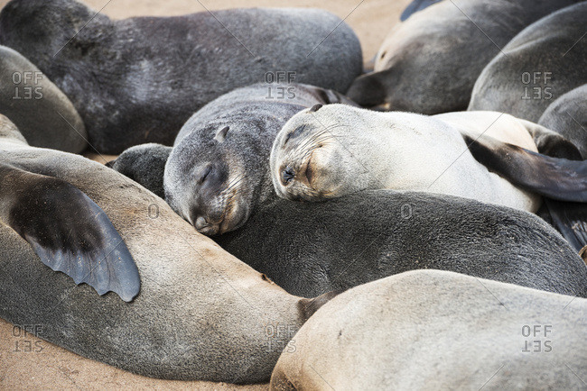 Close up view of a group of small fur seals, sleeping on each other at Cape Cross Seal Reserve, Namibian Coast, Namibia