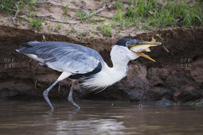 Cocoi heron (Ardea cocoi) swallowing fish in muddy shallows, Mato Grosso do Sul, Brazil