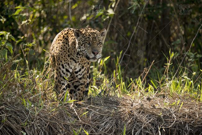 Jaguar (Panthera onca) lowering head to stare across river, Mato Grosso do Sul, Brazil