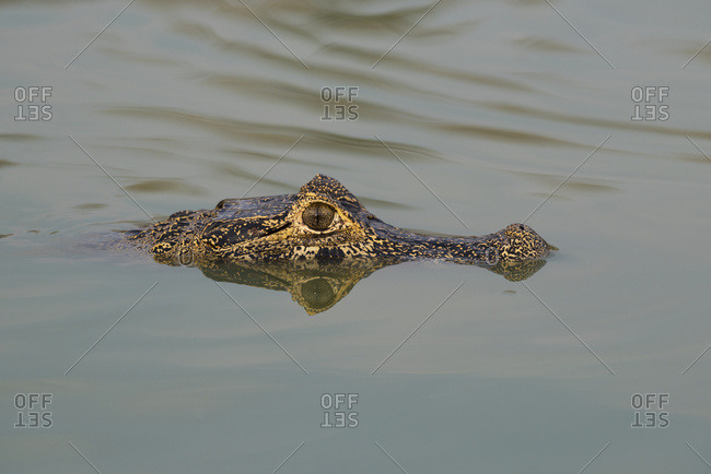 Head of Yacare Caiman (Caiman yacare) in calm river, Mato Grosso du Sol, Brazil