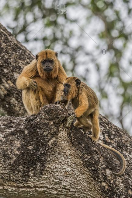 Mother and baby black howler monkeys sitting, Mato Grosso do Sul, Brazil
