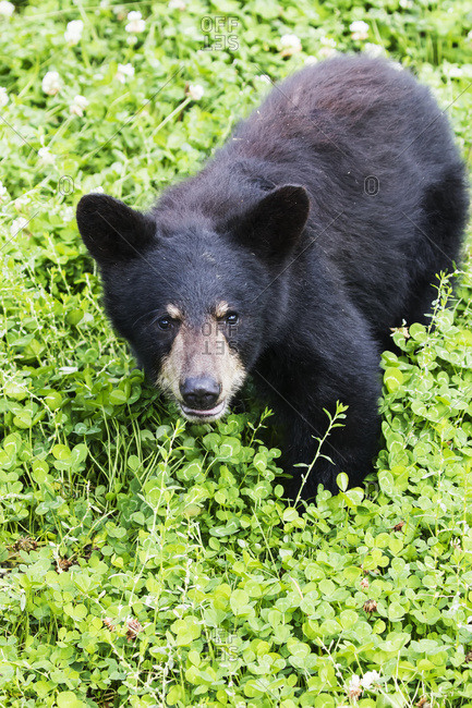 Black bear cub (Ursus americanus) captive in the Alaska Wildlife Conservation Center, Portage, Alaska, United States of America