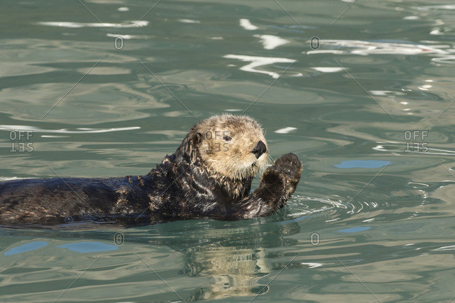 Sea Otter (Enhydra lutris), Seward small boat harbor, South-central Alaska, Seward, Alaska, United States of America