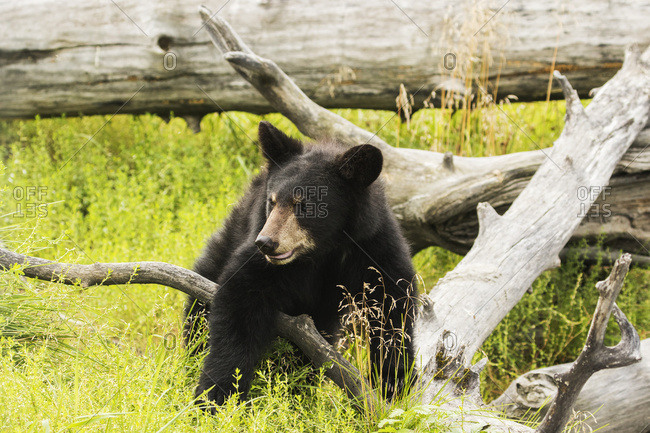 Black bear cub (ursus americanus), captive in Alaska Wildlife Conservation Center, Portage, Alaska, United States of America