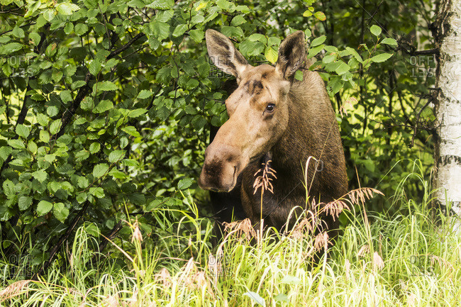 Cow moose (alces alces) laying on the grass in the trees on a hillside during rutting period, Power line Pass, South-central Alaska, Anchorage, Alaska, United States of America