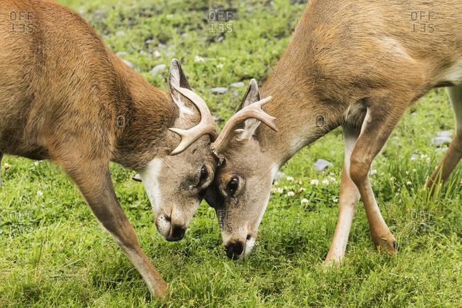Sitka Black-tailed Deer (Odocoileus hemionus sitkensis), captive at the Alaska Wildlife Conservation Center, Portage, Alaska, United States of America