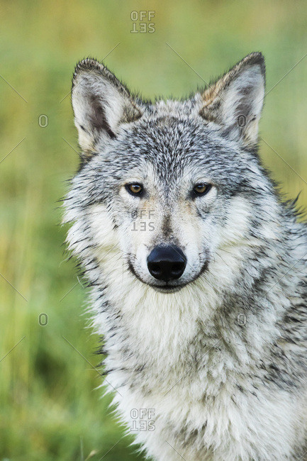 Immature female wolf (canis lupus), captive at the Alaska Wildlife Conservation Center, South-central Alaska, Portage, Alaska, United States of America