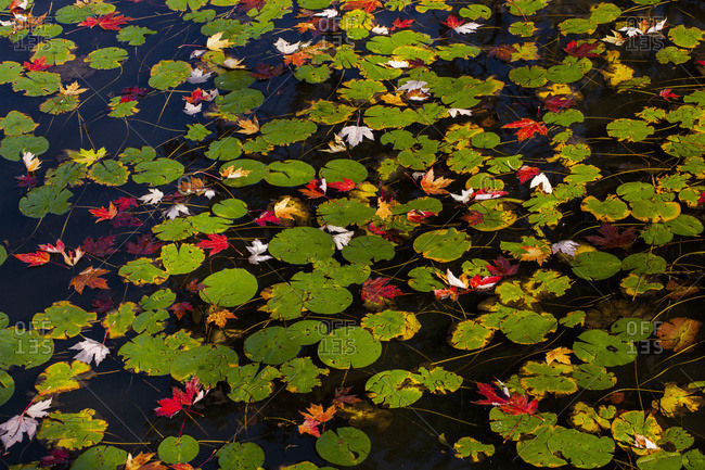 Lily pads and autumn colored leaves in water, Waterloo, Quebec, Canada
