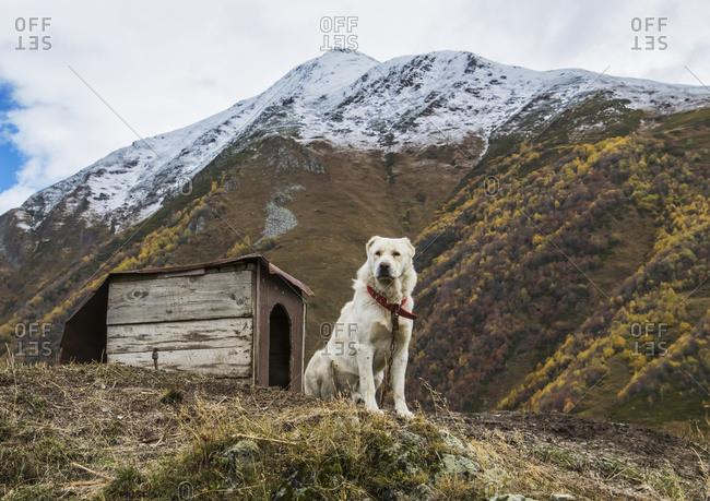 Georgian Shepherd dog by his dog house, Ushguli, Samegrelo-Zemo Svaneti, Georgia