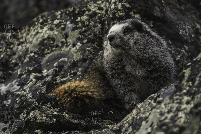 Hoary Marmot (Marmota caligata), Yukon, Canada