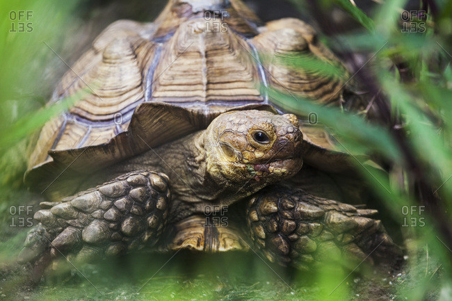 African spur footed tortoise (Geochelone sulcata), Saharan desert habitat, Florida, United States of America