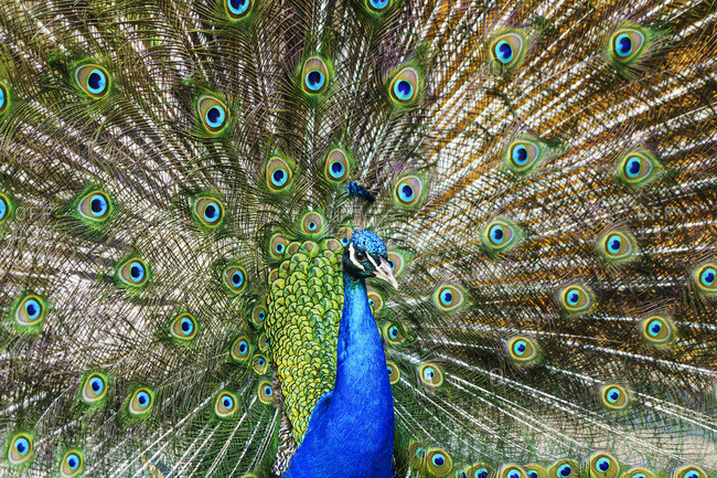 Peafowl displaying it's plumage, South Shields, Tyne and Wear, England