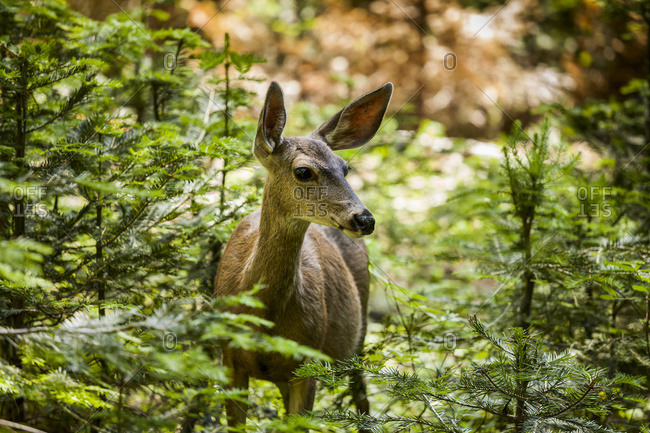 Mule deer (Odocoileus hemionus), Sequoia National Park, California, United States of America