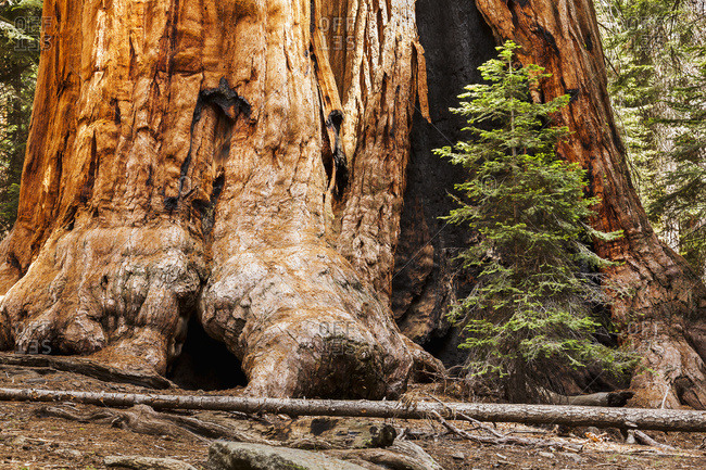 Giant sequoia tree, Sequoia National Park, California, United States of America