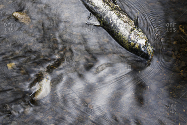 Chinook Salmon die in the river after spawning in Oregon, Olney, Oregon, United States of America