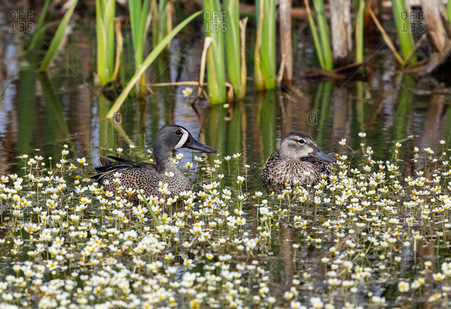 Blue-winged teal (Anas discors), Alberta, Canada