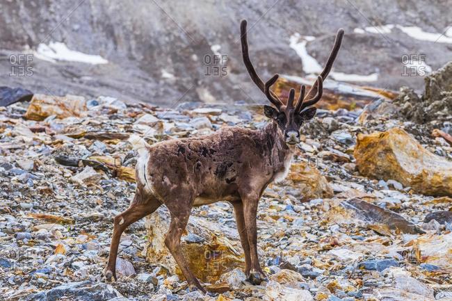 A bull caribou (Rangifer tarandus caribou) sporting velvet-covered antlers in early summer stands on a moraine of Castner Glacier in the Alaska Range, Alaska, United States of America