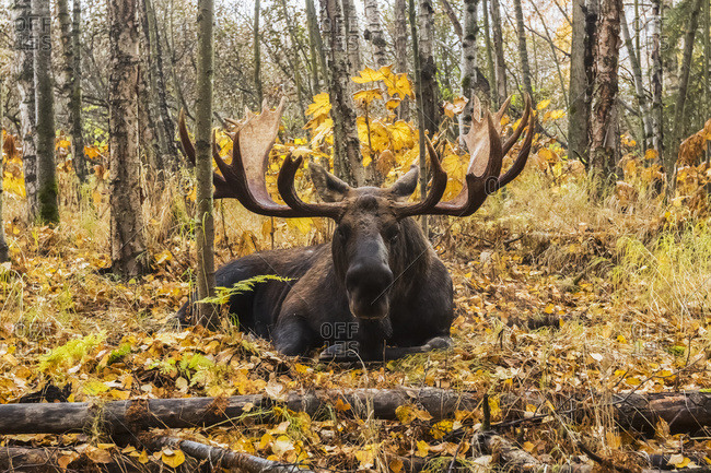 Bull moose (alces alces) with antlers in autumn, South-central Alaska, Anchorage, Alaska, United States of America