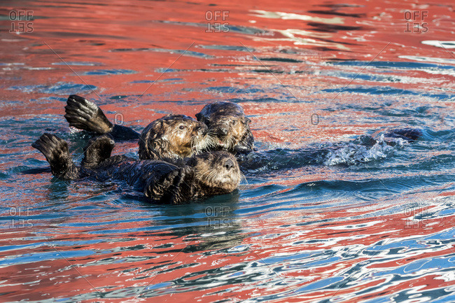 Sea Otters (Enhydra lutris) together in the water with a reflection of a red buoy from a boat on the water's surface, Seward small boat harbor, South-central Alaska, Seward, Alaska, United States of America