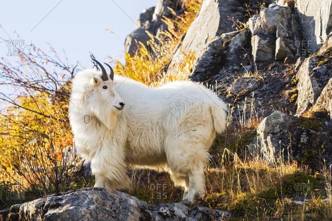 Mountain goat (Oreamnos americanus), Exit glacier area near Seward, in autumn, South-central Alaska, Alaska, United States of America