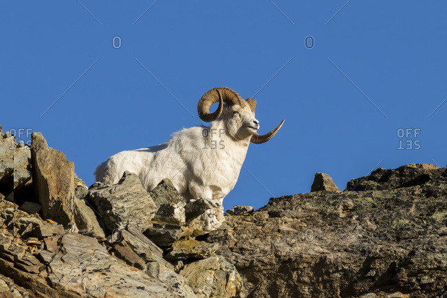 Large Dall ram (ovis dalli) in Denali National Park and Preserve, interior Alaska, Alaska, United States of America