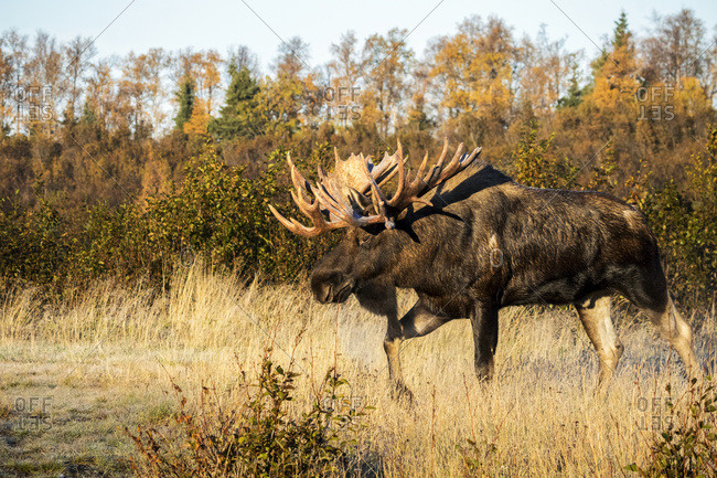Bull moose (alces alces) with antlers walking in a grass field in autumn, South-central Alaska, Anchorage, Alaska, United States of America