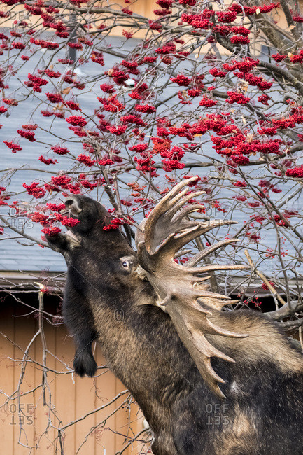 Large bull moose (alces alces) feeding on Mountain Ash berries on Aero Drive in West Anchorage, South-central Alaska, Anchorage, Alaska, United States of America