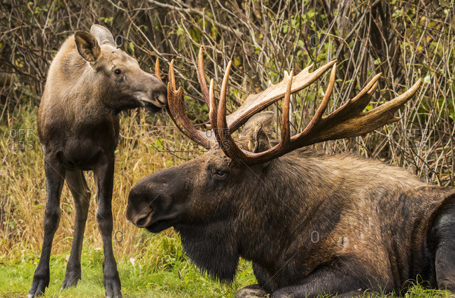 A young calf moose (alces alces) sniffing and bumping a large bull moose's antlers while the bull rests during the autumn rut, South-central Alaska, Anchorage, Alaska, United States of America