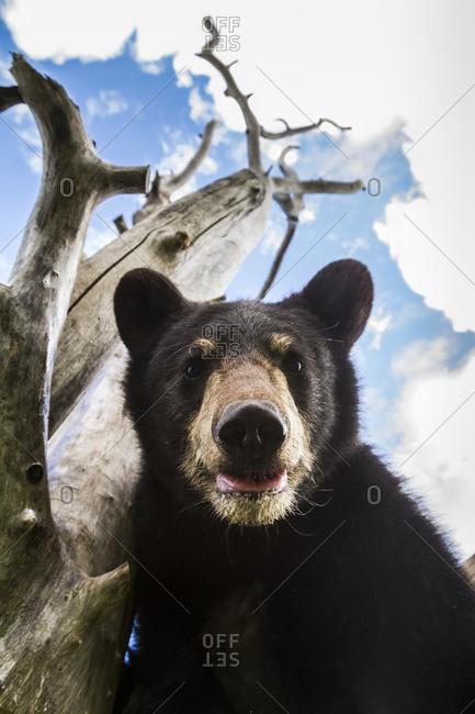 Close up portrait of Black bear cub (ursus americanus) captive at Alaska Wildlife Conservation Center, Portage, Alaska, United States of America