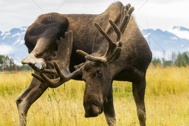Bull moose (alces alces) uses antlers to scratch it's leg, captive at Alaska Wildlife Conservation Center, South-central Alaska, Portage, Alaska, United States of America