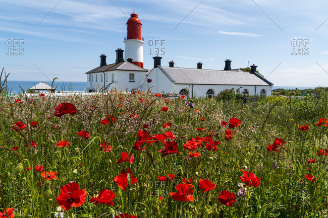 Souter Lighthouse with a field of red poppies in the foreground, South Shields, Tyne and Wear, England