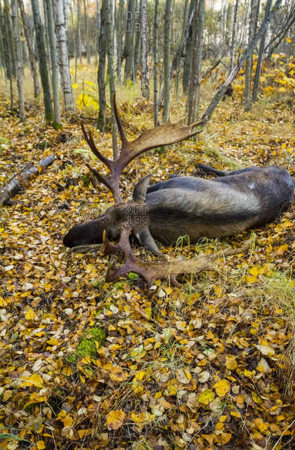 Large bull moose (alces alces) sleeps in the woods among fallen autumn colored leaves, South-central Alaska, Anchorage, Alaska, United States of America