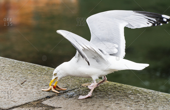 A seagull eating a piece of food on a walkway at the water's edge, Dunbar, Scotland