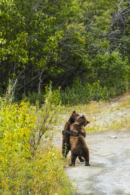 Two young bear cubs wrestle with each other off the Glenn Highway in Glennallen Alaska on a summers day, South-central Alaska, USA