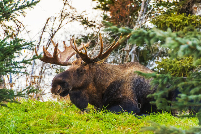 Bull moose in Kincaid Park in autumn, Anchorage, South-central Alaska, USA