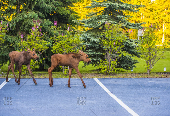 Two moose calves cross the parking lot of the National Weather Service, Anchorage, South-central Alaska, USA
