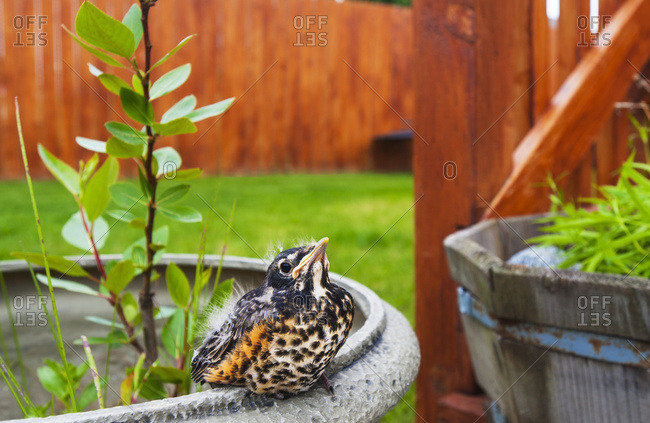 A young Robin fledgling is seen sitting on the edge of a flower pot in the back yard of an Alaskan home on a spring day, South-central Alaska, USA