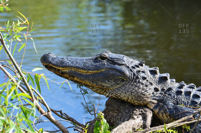 Alligator on the shore at the edge of the water, Florida, United States of America