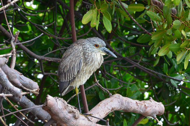Immature Night Heron (Nycticorax), Florida, United States of America