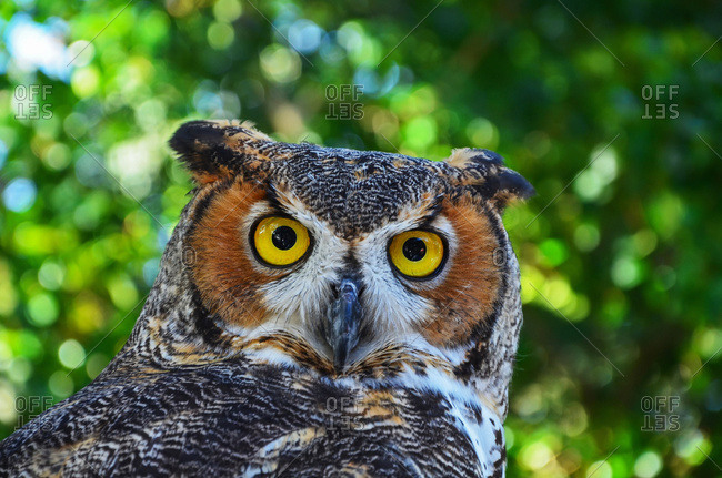 Great Horned Owl (Bubo virginianus), Florida, United States of America