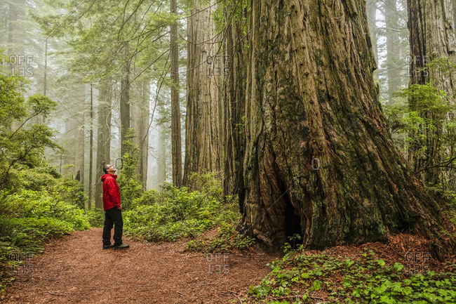Hiker on Damnation Creek Trail in fog, Redwood National and State Parks, California, United States of America