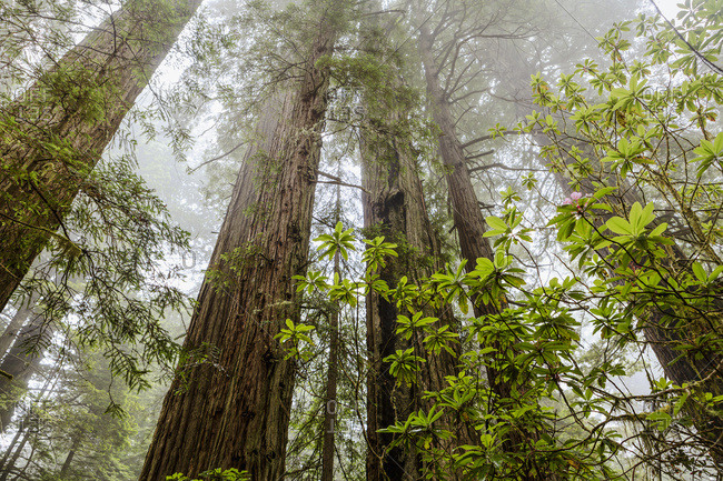 Redwood trees in fog, Redwood National and State Parks, California, United States of America