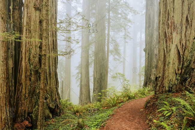 Along Damnation Creek Trail in fog, Redwood National and State Parks, California, United States of America