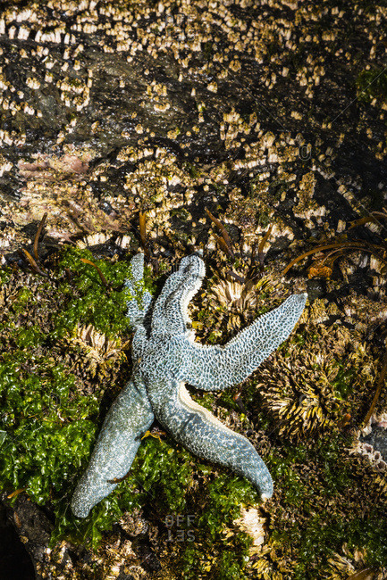 Detail view of a sea star in a tidal pool, Hesketh Island, Homer, South-central Alaska, USA